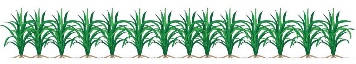 crop wheat